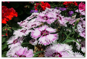 19th Nov 2020 - Spicy Dianthus