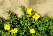 19th Nov 2020 - Sand flowers Coolum Beach