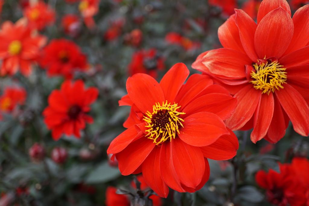 red dahlias and bokeh ones by quietpurplehaze