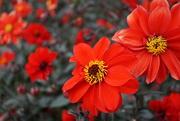 19th Nov 2020 - red dahlias and bokeh ones