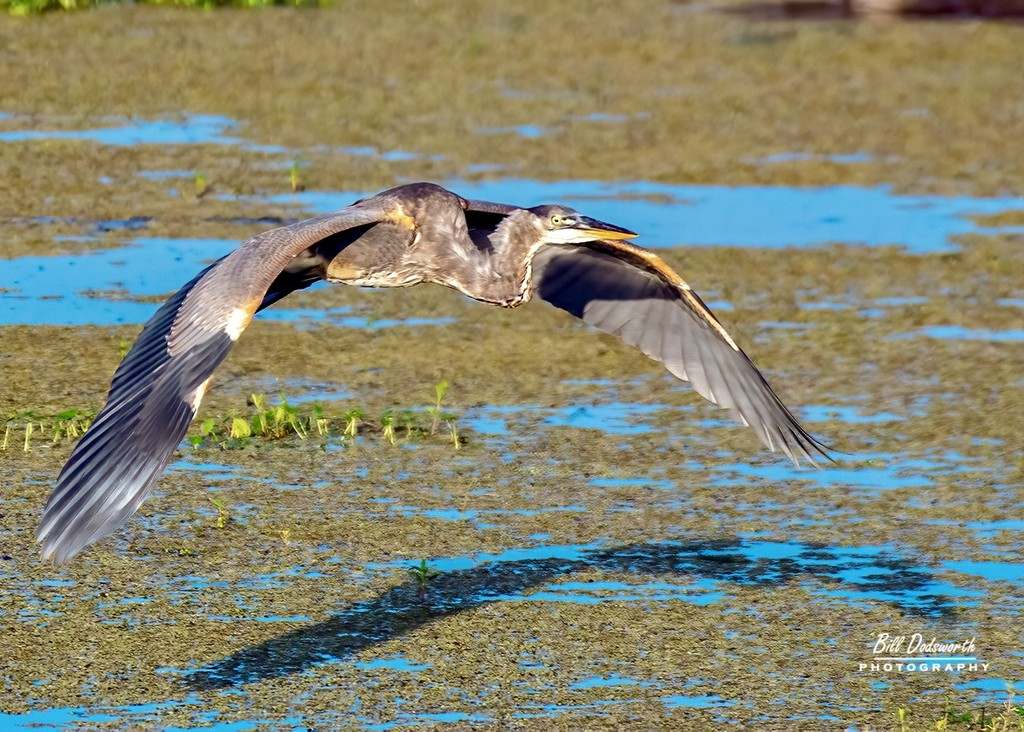 Fly-by, a Great Blue Heron by photographycrazy