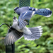Squawking Blue Jays by jyokota