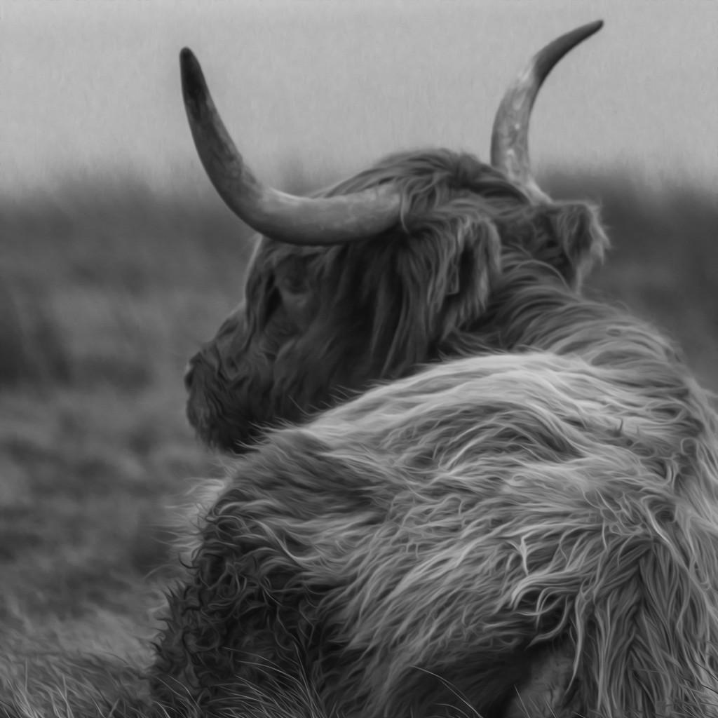 Highland Cattle  by shepherdmanswife
