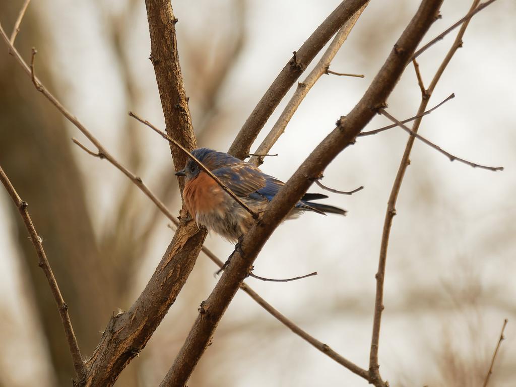 eastern bluebird  by rminer