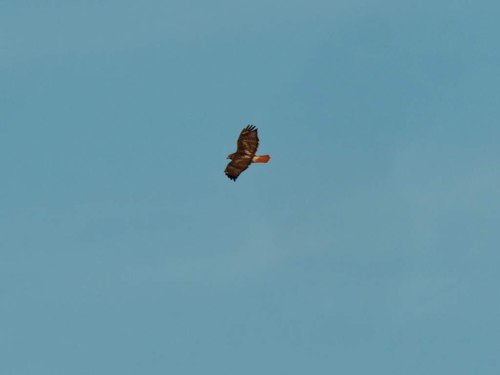Red-tailed hawk by rminer