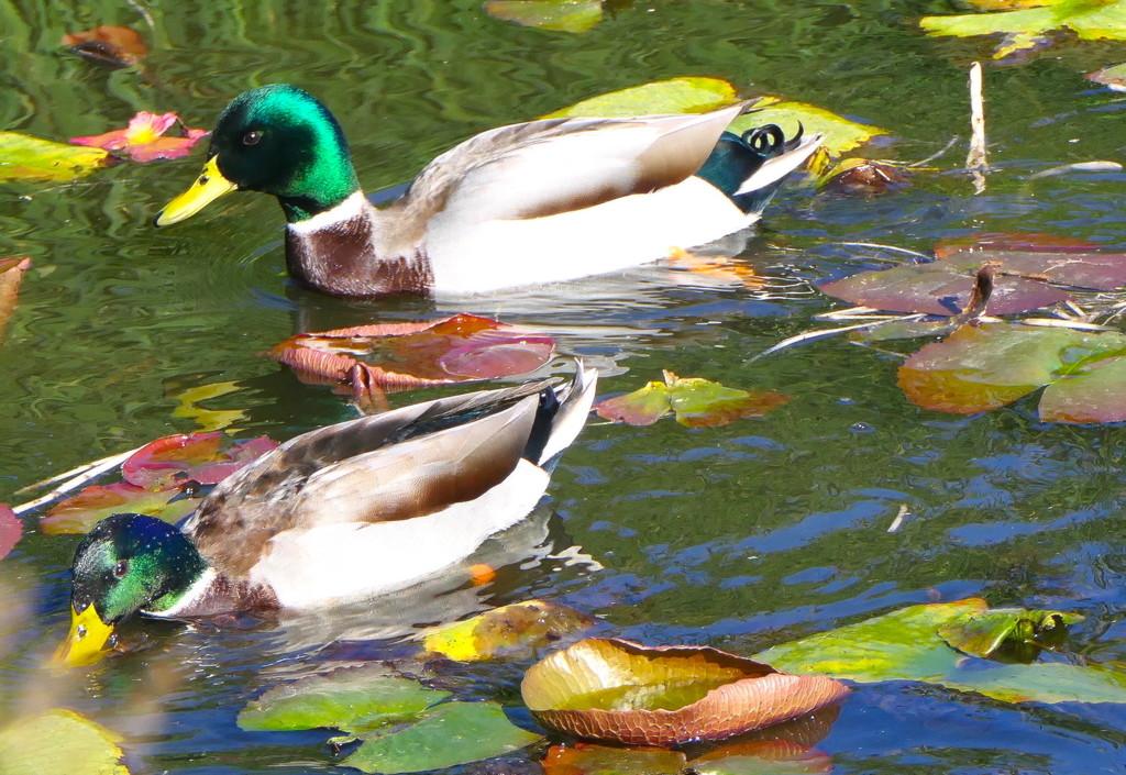 Dabbling Ducks by redy4et