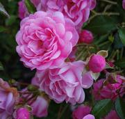 23rd Sep 2020 - Fall Roses - Edit 1