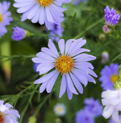 25th Sep 2020 - Asters September 2020