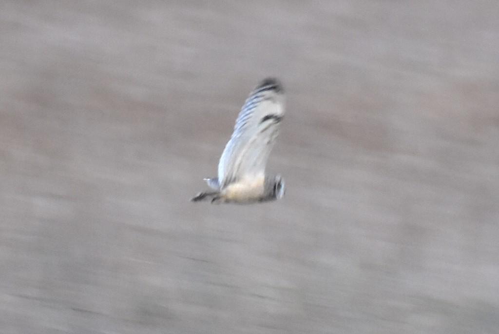 Short-Eared Owl by helly31