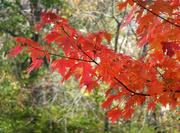 19th Nov 2020 - Autumn Red