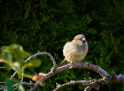 19th Nov 2020 - Male House Sparrow