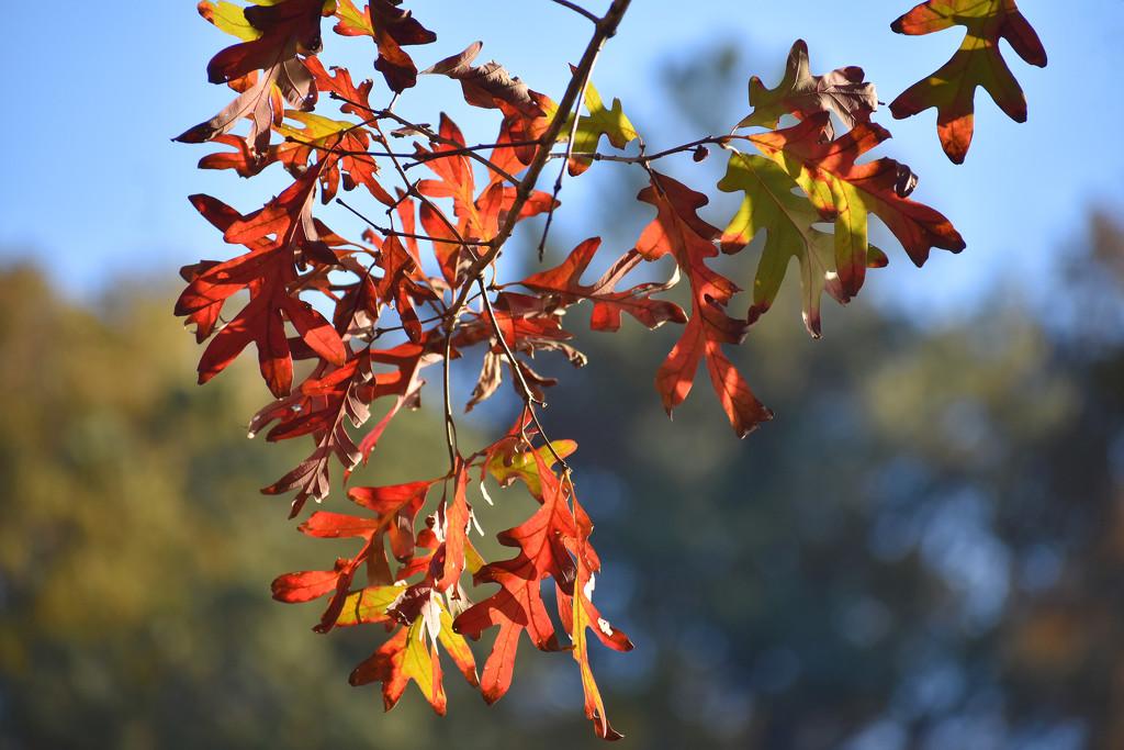 Glowing oak by homeschoolmom