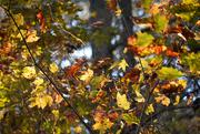 18th Nov 2020 - Glowing leaves