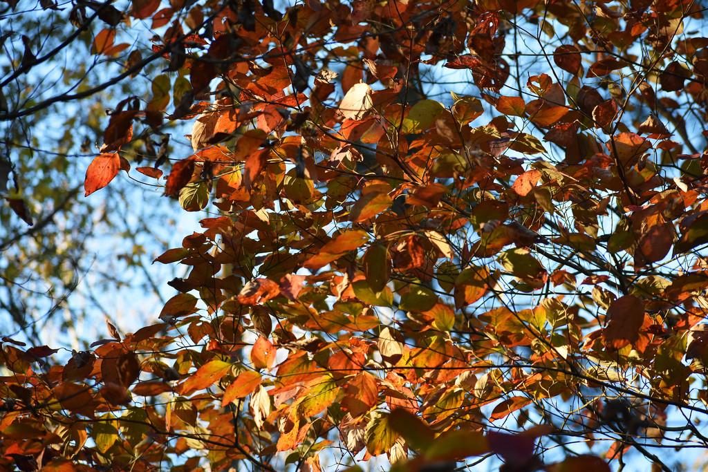 Leaves shining by homeschoolmom