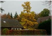 20th Nov 2020 - golden tree