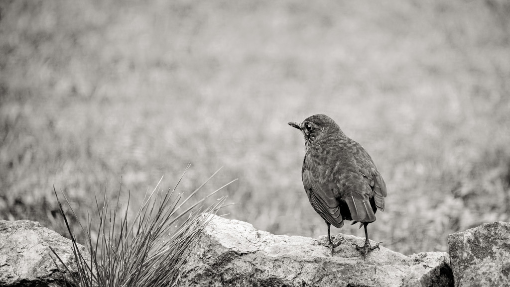 Here's Mrs Blackbird again... by vignouse