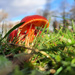 Scarlet waxcap by janturnbull