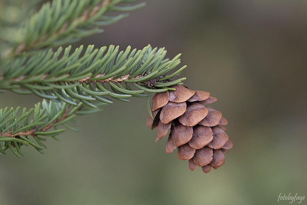 Little Pine Cone by fayefaye