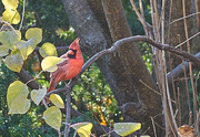 13th Nov 2020 - Cardinal and Leaves
