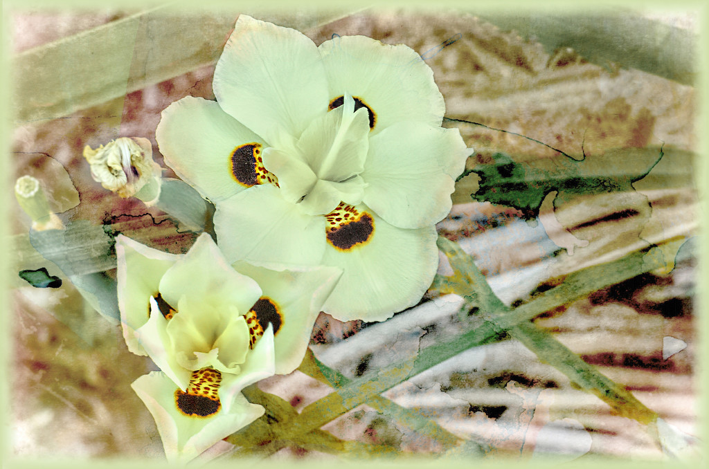 Dietes bicolor  by ludwigsdiana