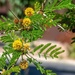 Fever tree flowers