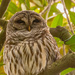 Drowsy Barred Owl!