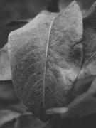20th Nov 2020 - Pear tree leaf