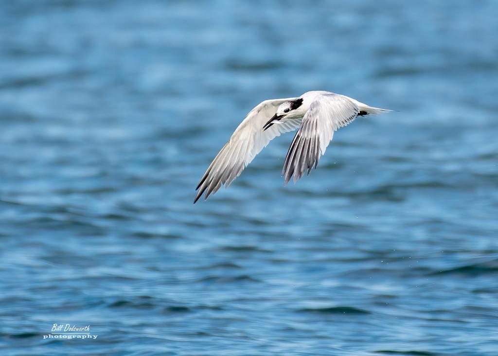 Fly-by, a Sandwich Tern by photographycrazy