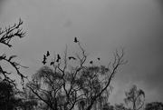 20th Nov 2020 - Crows