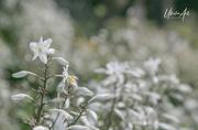 20th Nov 2020 - white flowers