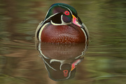 20th Nov 2020 - Painted Duck