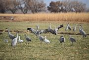 20th Nov 2020 - When Cranes Dance.