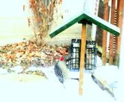 20th Nov 2020 - Woodpecker