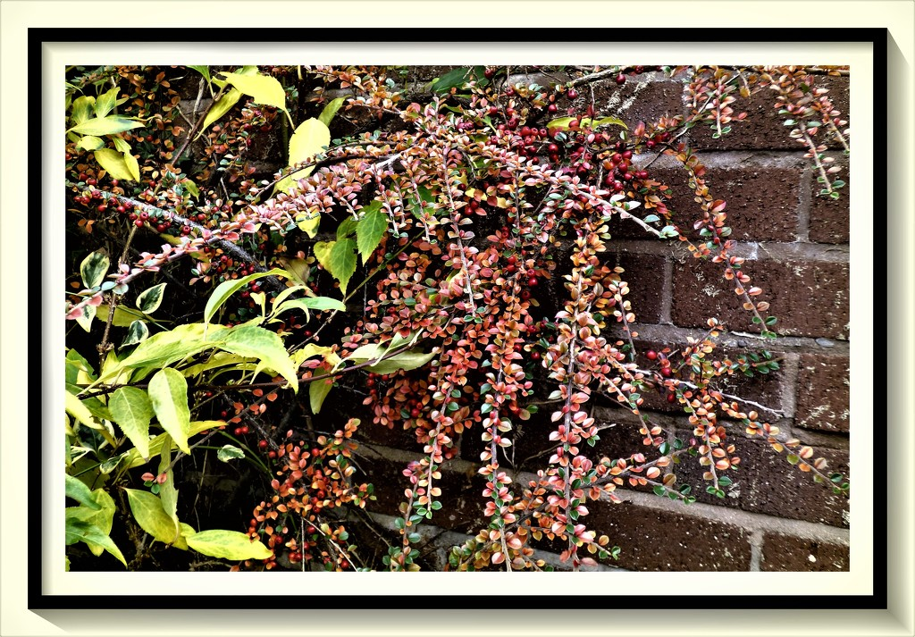 Cotoneaster by beryl