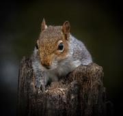 20th Nov 2020 - Grey Squirrel