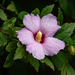 Carol's Rose of Sharon