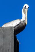 22nd Nov 2020 - Pelican Watching Me