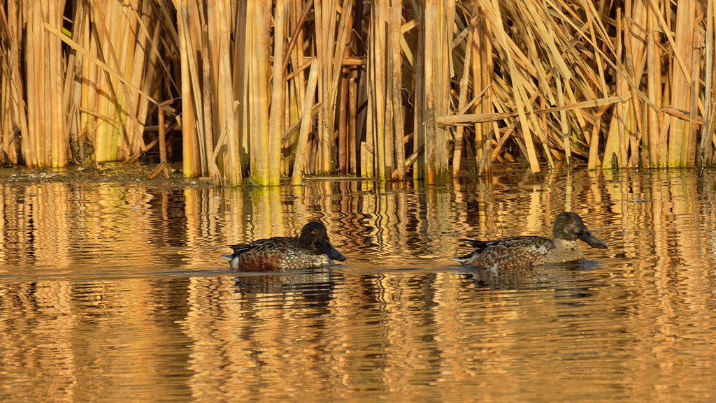 Northern Shovelers by rminer
