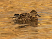 20th Nov 2020 - Green-winged teal