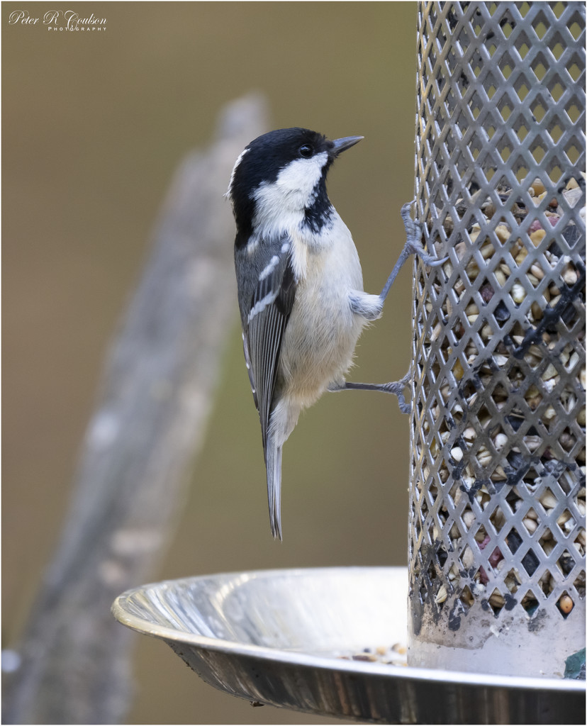 Coal Tit by pcoulson