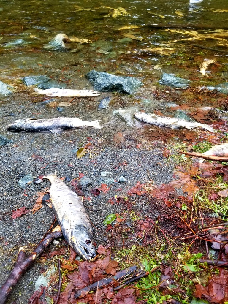Salmon Spawning Time by kimmer50