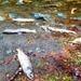 Salmon Spawning Time