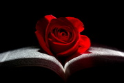 20th Nov 2020 - Red Red Rose II
