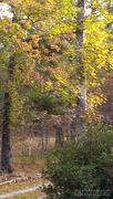 21st Nov 2020 - Painted fall sweetgum trees...