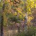 Painted fall sweetgum trees...