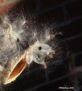 20th Nov 2020 - Milkweed Creature