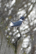 20th Nov 2020 - Belted Kingfisher