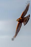 20th Nov 2020 - Local Red-Shouldered Hawk