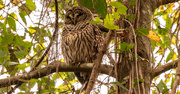20th Nov 2020 - Alright, One More Barred Owl!