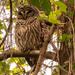 Alright, One More Barred Owl!